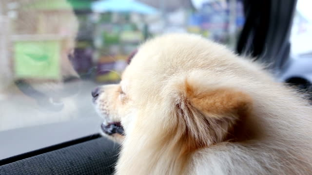 pomeranian dog cute pets travel on car - dog hair stock videos and b-roll footage