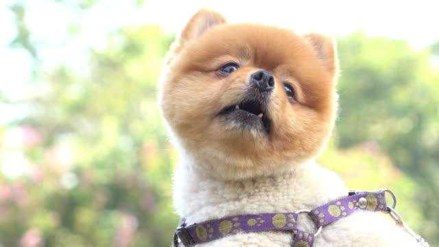 Volpino di Pomerania cane carino animali domestici