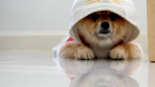 pomeranian dog cute pets - hat stock videos and b-roll footage