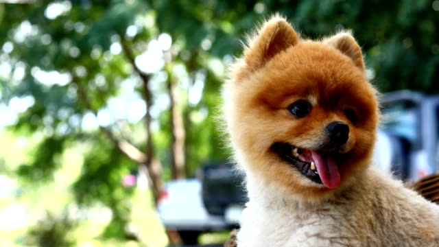 pomeranian dog happy smile - dog hair stock videos and b-roll footage