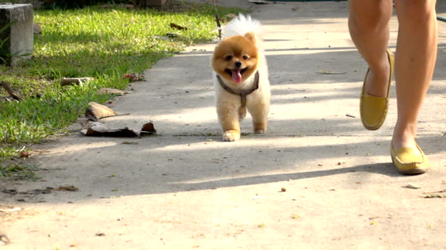 pomeranian dog jogging, slow motion