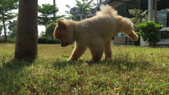pomeranian dog pee urinating on grass field - dog hair stock videos and b-roll footage