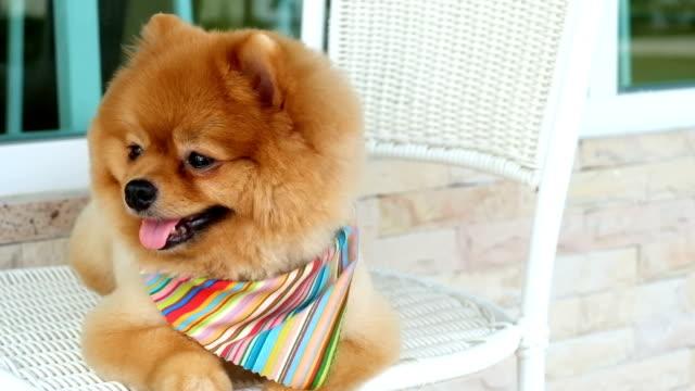pomeranian dog sitting on chair