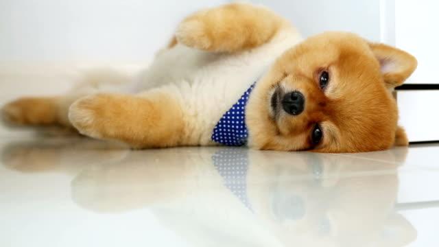 pomeranian dog sleeping - groom stock videos and b-roll footage