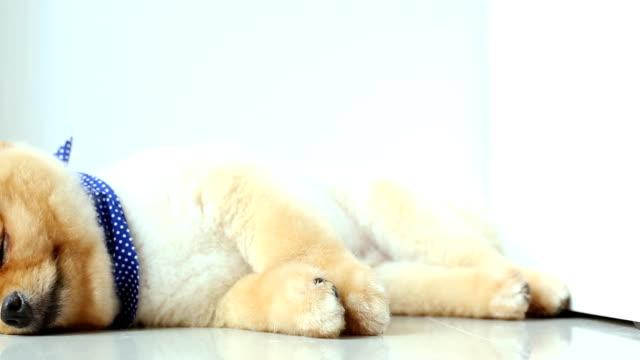 Volpino di Pomerania Cane da letto