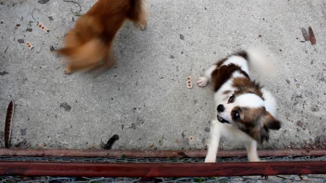 stockvideo's en b-roll-footage met pomeranian dog - vachtpatroon