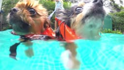 Pomeranian Dogs In Swimming Pool