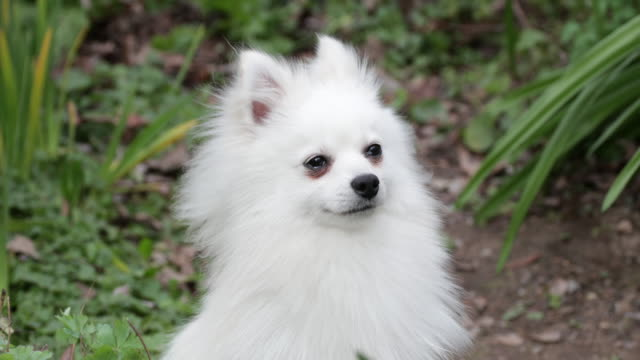 pomeranian sitting, looking around closeup - small stock videos & royalty-free footage