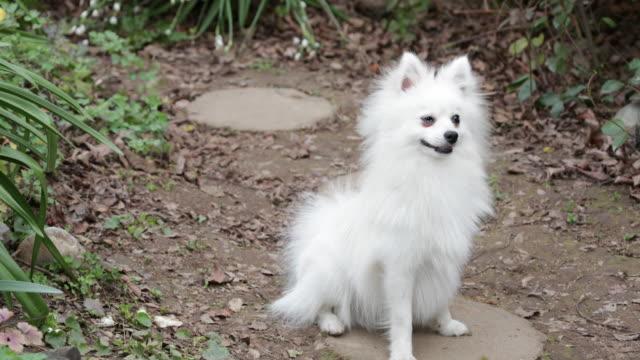 Pomeranian sitting, looking around