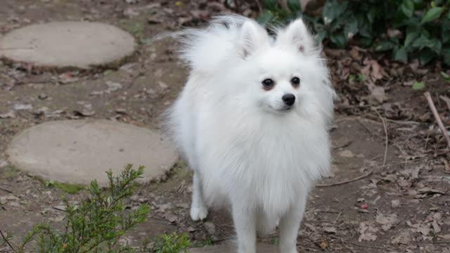 Pomeranian standing, looking around