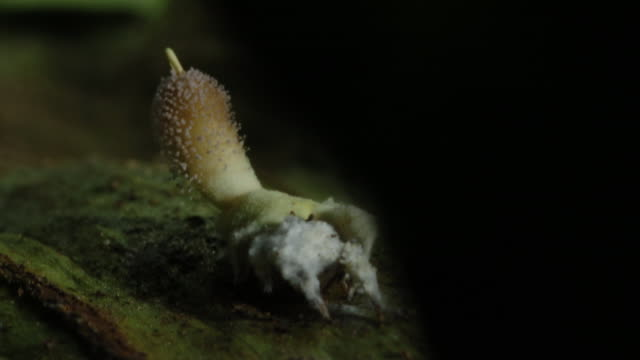a pompom cordyceps fungus grows from the body of a jumping spider. available in hd. - spider stock videos and b-roll footage