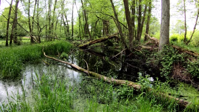 pond and wetland with alluvial forest, biodiversity, pan - alder tree stock videos & royalty-free footage