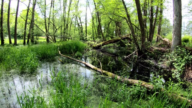pond and wetland with alluvial forest, biodiversity - alder tree stock videos & royalty-free footage