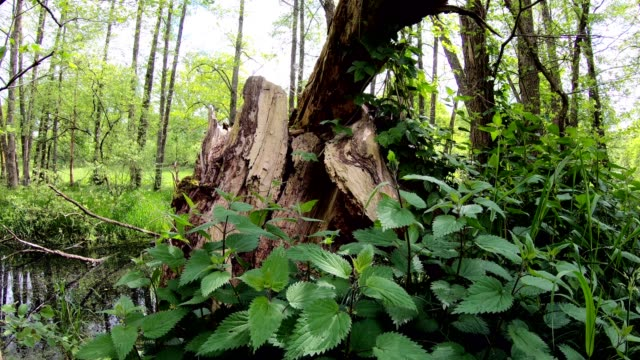 pond and wetland with alluvial forest, stinging nettle, dead wood - nettle stock videos & royalty-free footage