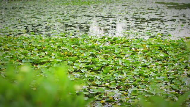 a pond full of water lilies floating on water under a cloudy sky - uncultivated stock videos & royalty-free footage