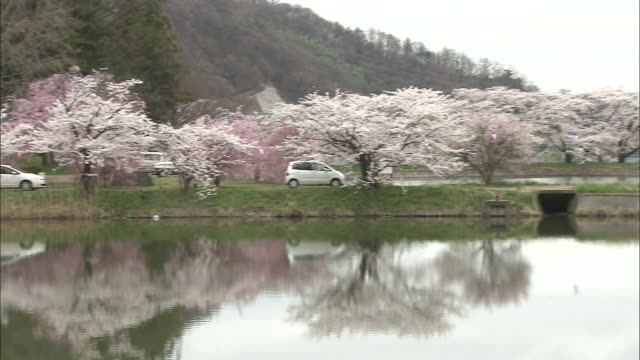 a pond reflects blooming cherry trees in haruta park. - nagano prefecture stock videos and b-roll footage