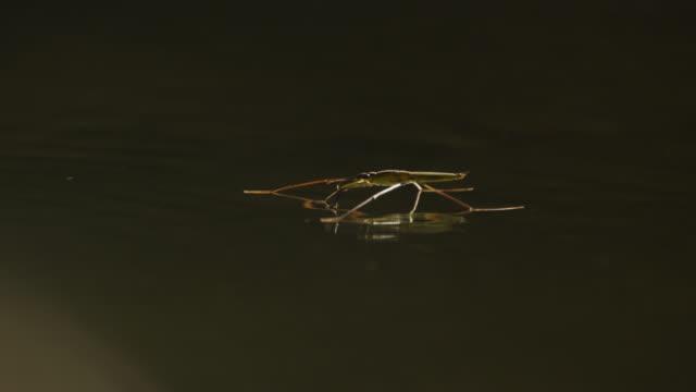 vídeos de stock, filmes e b-roll de pond skaters skim across surface of salobra river. - tensão de superfície