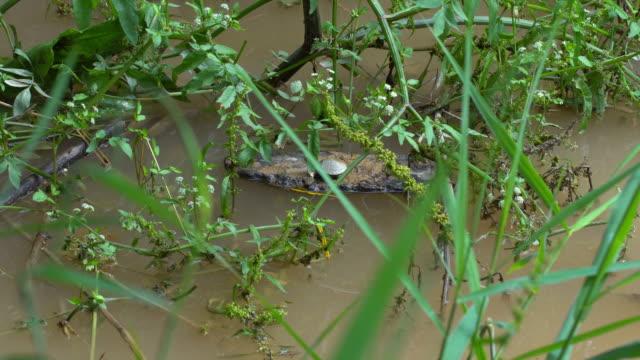 pond slider - (trachemys scripta) on a wood, young specimen at llobregat river - animal ear stock videos & royalty-free footage
