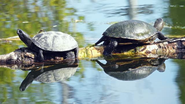 pond turtle - rettile video stock e b–roll