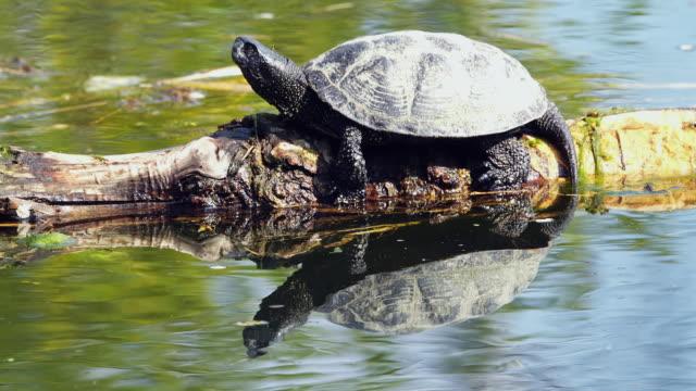 Pond Turtle
