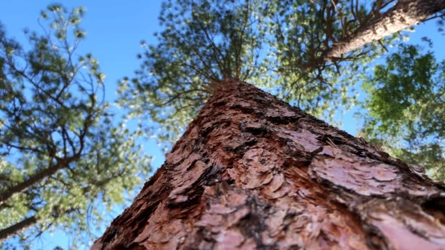 ponderosa pine tree - pine stock videos & royalty-free footage