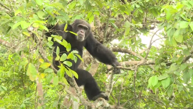 ponso is the last lonely survivor of a colony of 20 apes who mysteriously died or vanished on the forested chimpanzee island in ivory coast - côte d'ivoire stock videos & royalty-free footage