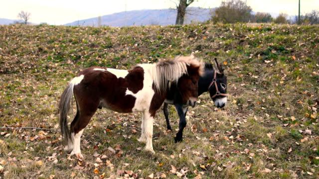 pony und esel sind im feld spielen. - esel stock-videos und b-roll-filmmaterial