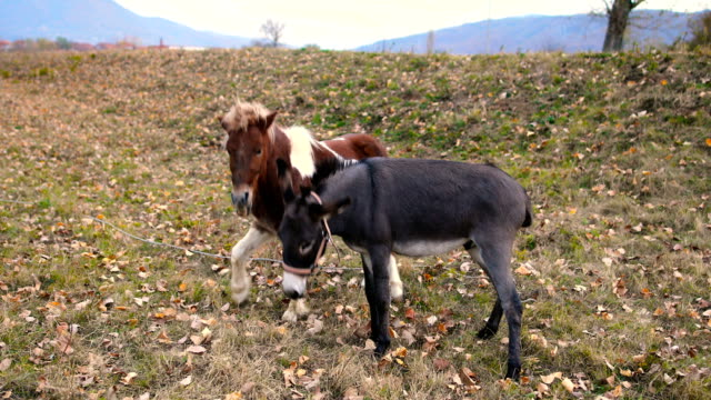 pony and donkey are playing in the field - donkey stock videos & royalty-free footage