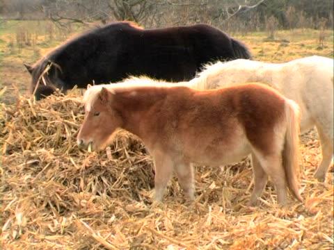 pony und pferde grasen - kleine gruppe von tieren stock-videos und b-roll-filmmaterial