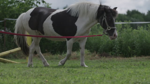 Pony exercising in paddock