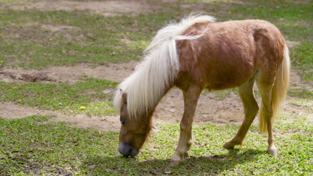 pony or small horse eating hay stock grass - stable stock videos & royalty-free footage
