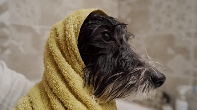 poodle after shower - wrapped in a towel stock videos & royalty-free footage