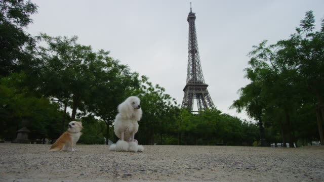 vídeos de stock, filmes e b-roll de ws poodle and chihuahua sit with eiffel tower in background - torre eiffel