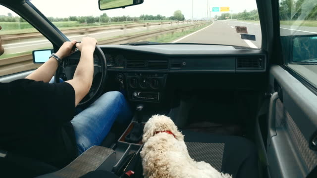 poodle at the road on the passenger seat with her owner - passenger seat stock videos and b-roll footage