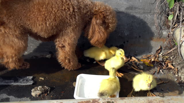 poodle dog play with duckling - duck stock videos & royalty-free footage