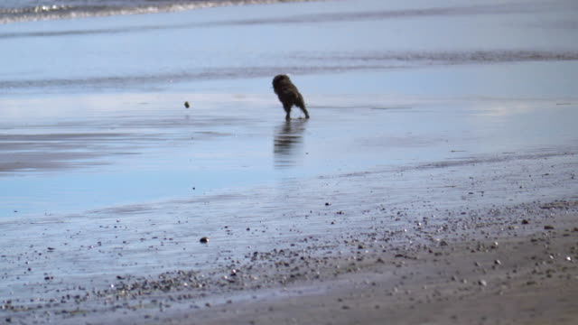 Poodle dog playing on the beach in California in 4k slow motion