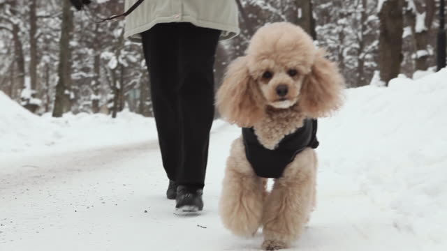 MS POV Poodle dog with woman behind him walking towards camera on snow covered path  / Gavle, Gastrikland, Sweden