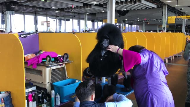 A poodle is groomed backstage at the 142nd Westminster Kennel Club dog show February 12 2018 in New York City The show is scheduled to see 2882 dogs...