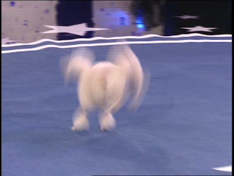 a poodle performs back flips across a starred arena. - バク転点の映像素材/bロール