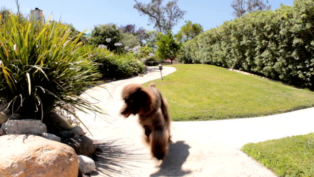 Poodle running in slow motion