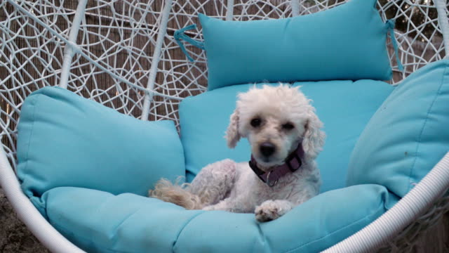 poodle - sessel stock-videos und b-roll-filmmaterial