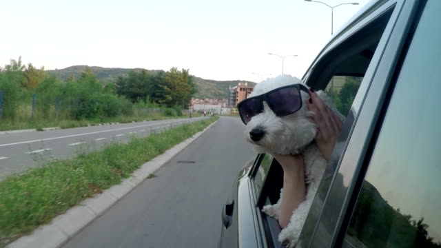 Poodle with style in a moving car