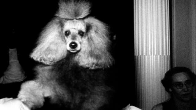 vidéos et rushes de poodles on tables being groomed at the canadian poodle association competition / groomer putting makeup on dog's face / women in poodle skirts... - concours