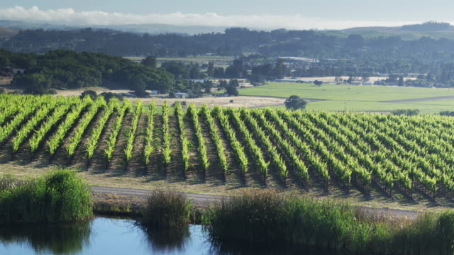 Pool of Water in Vineyard with Newly Planted Grapes in Background - Drone Shot