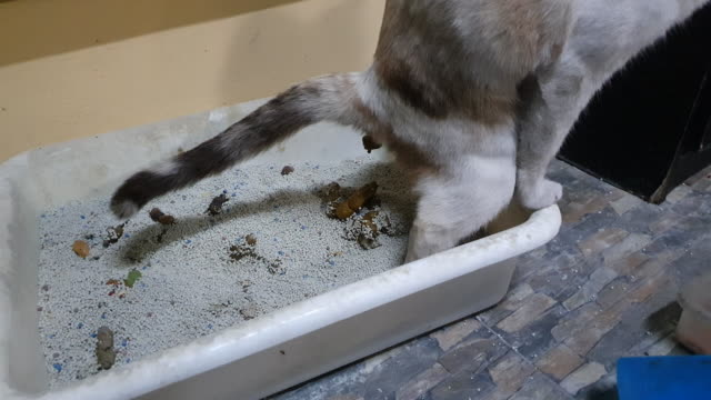 4k pooping siamese cat - digging stock videos & royalty-free footage