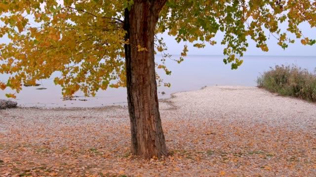 poplar tree on the lakeshore in autumn, garda, lake garda, lago di garda, veneto, italy - lakeshore stock videos & royalty-free footage