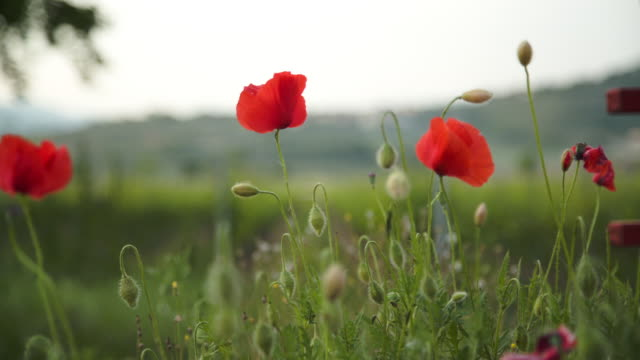Poppies by the vineyard. Focus racking to the background vineyard.