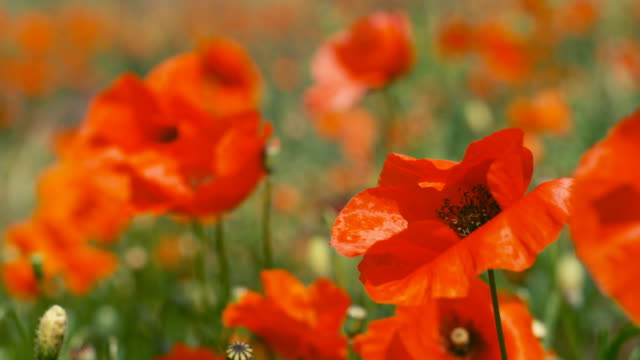 poppies flutter in a breeze. - poppy plant stock videos and b-roll footage