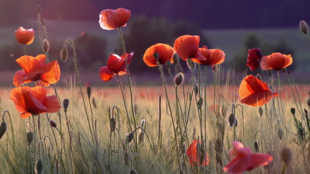poppies in life - wildflower stock videos & royalty-free footage