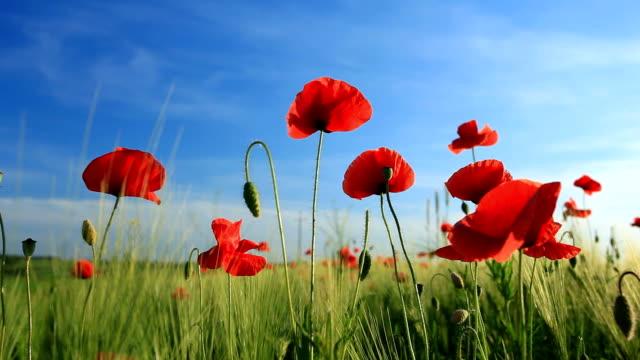 Poppies の小麦のフィールド